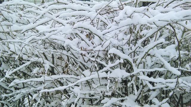 Tanaman yang sudah menjadi kerangka dipenuhi salju...